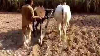 Old Life of Punjab Farmer (Rangla Punjab near Jalandhar,Pakistan)Must watch new punjabi Videos