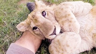 Lion Prides - #AskMeg | The Lion Whisperer