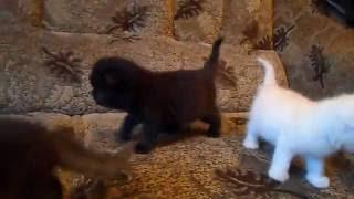 Экзотические котята в хорошие руки по привликательной цене