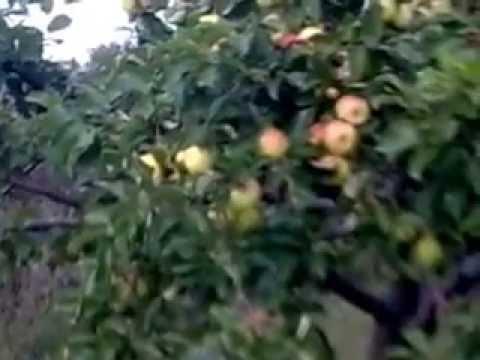 Сорта яблонь ранних, средних и поздних сроков созревания, саженцы которых производятся в питомнике растений.