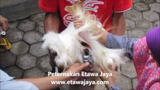 Download Video Inseminasi Buatan Kambing Etawa Senduro (Bagian 4) MP3 3GP MP4