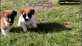 Jack Russell, Puppies, For, Sale, In, Louisville,county, Kentucky, Ky,  Richmond, Florence, Georgeto