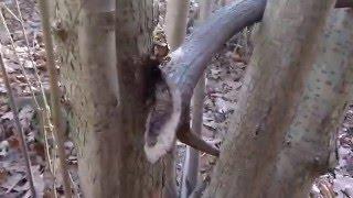 Poroże jelenia ułamane między drzewami