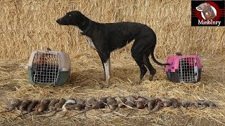 Trained Mink and Dog Catch 25 rats!!!