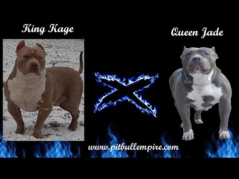 XL Pitbull Puppies For Sale, Bully Puppies
