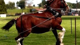 Порода лошадей. Клейдесдаль. Шотландская хладнокровная лошадь