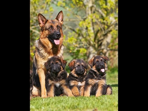 German shepherd puppies are available 03459442750 Zain Ali farming in Pakistan