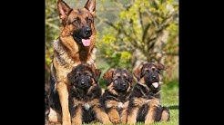 German shepherd puppies are available 03459442750 Zain Ali farming in Pakistan