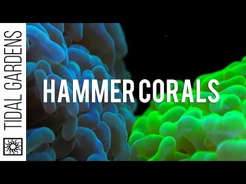 Hammer Coral Care Tips