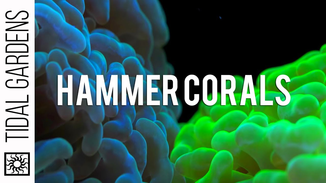 hammer coral care tips youtube