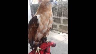 Brahminy kite (Manning)