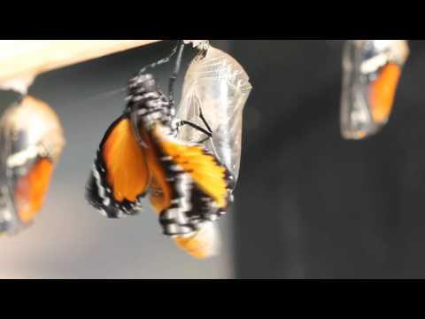 Corti Organ – Butterfly (Radio Edit)