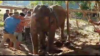 Mae Phong Sri the injured leg elephant