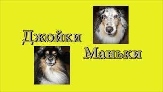 Джойки Маньки - Стих // собаки // шелти // Жизнь в деревне