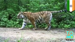 Tiger attack: toothless Bengal tiger claws woman to death in India