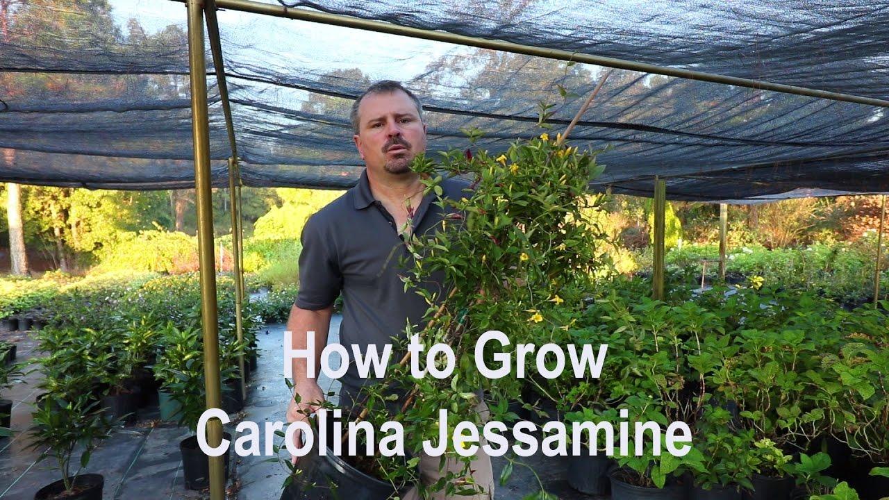 How to grow carolina jessamine with a detailed description youtube how to grow carolina jessamine with a detailed description izmirmasajfo