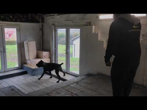 """Cane Corso Personal Protection Training """"Active Robbery"""""""