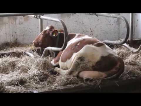 Dairy Cows From Ukraine- By ALbaraka Europe Trading