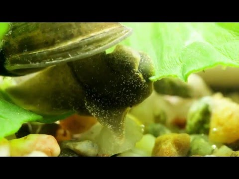 Radix balthica / Schlammschnecke / Wandering Pond Snail