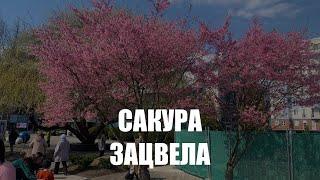 На набережной у Музея Мирового океана в Калининграде зацвела сакура