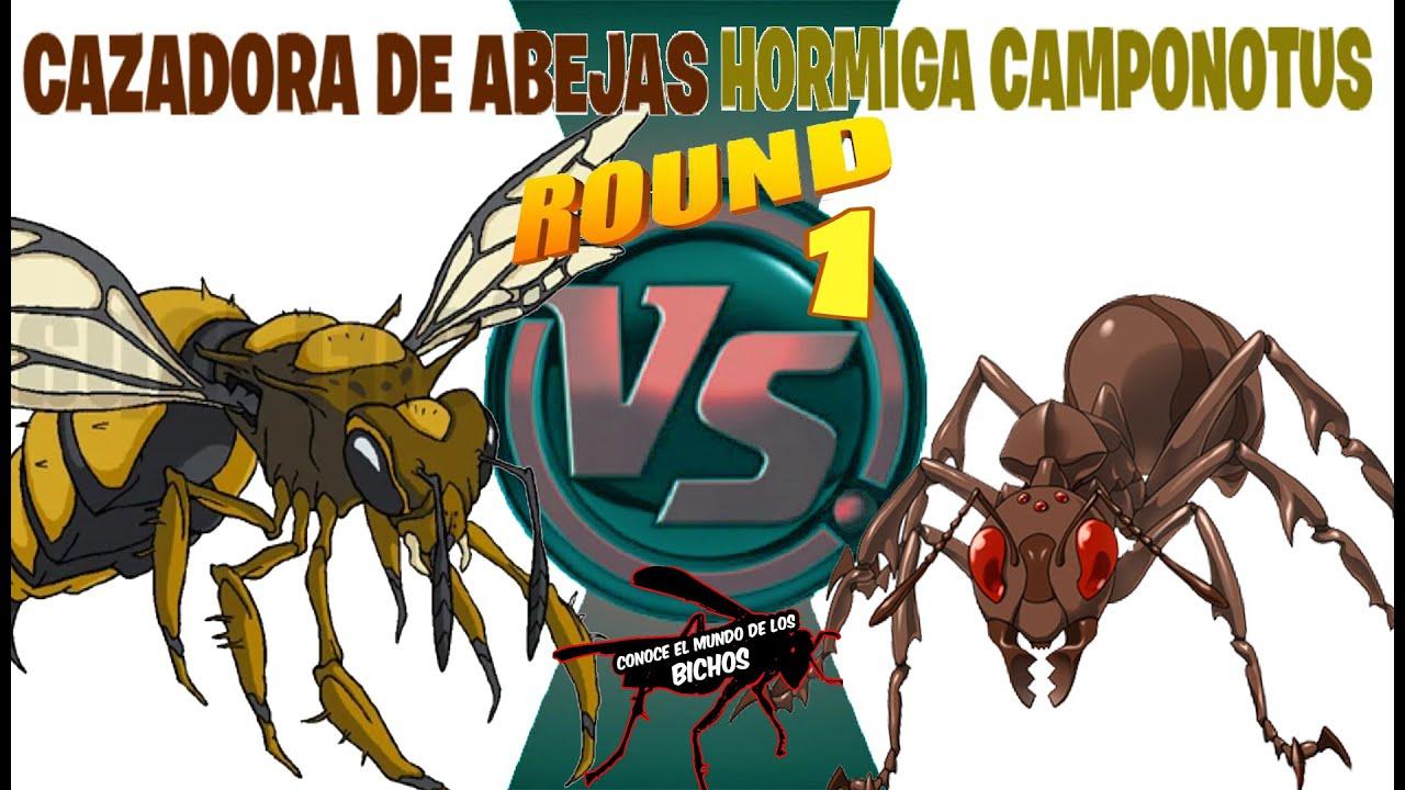 AVISPA CAZADORA DE ABEJAS VS HORMIGA CAMPONOTUS - ROUND 1 Y 2