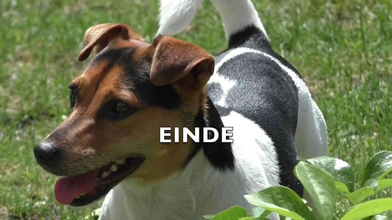 Jack russel terrier rozie grappig hondje funny dog video youtube bert van der wal youtube - Jack russel queue coupee ...