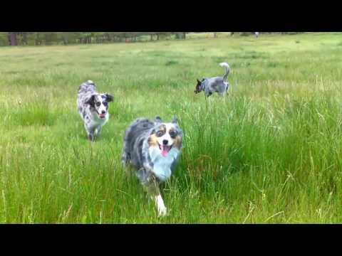 Four Aussies and Cattle Dog run in tall grass