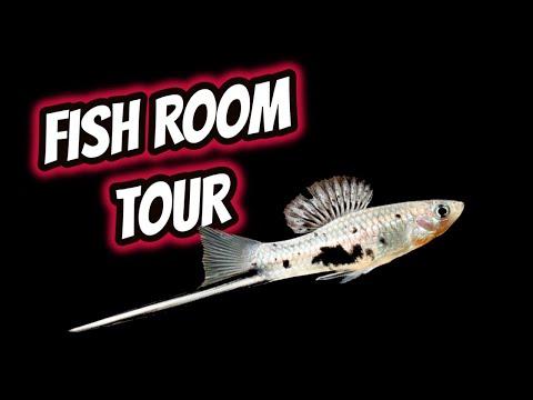 Swordtail Fish Room Tour