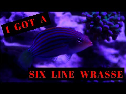 I Added A Six Line Wrasse And A Few New Frags!!