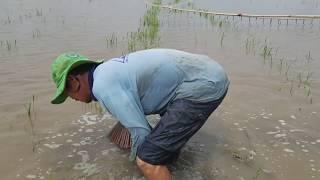 Không Ngờ Có Cách Bắt Cá Lóc Quá Hay l Đánh Bắt Mùa Nước Nổi