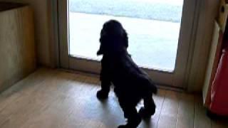 6月4日生まれのイングリッシュコッカースパニエルの子犬です。 とても愛...