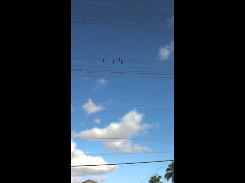 Parrots in Long Beach, CA