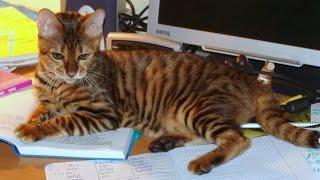Тойгер, Уход и содержание, Породы кошек