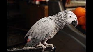 Такой умный попугай