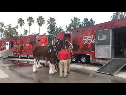 The Scoop News Video Report: Video of the 8 Budweiser Clydesdale Getting Ready For The Parade