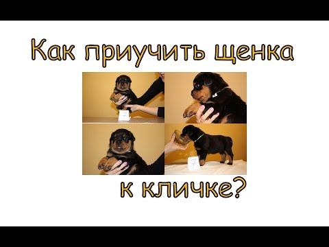 Приучение к кличке как быстро приучить к кличке собаку?