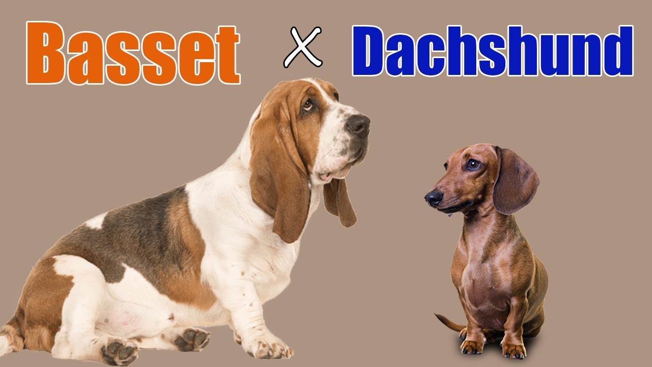 Basschshund (Basset Hound-Dachshund Mix) Info, Puppies ... |Dachshund Basset Hound