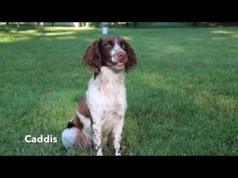 Gundog Training -Hunt Test Water Work (Caddis,  11 month old Springer Spaniel)