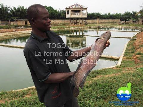 Togo Tilapia avec ces Poissons #Tilapia à votre Goût , Naturel et sans produits chimiques!