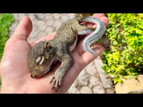 RESCUED! BABY SQUIRREL FELL FROM A TREE !