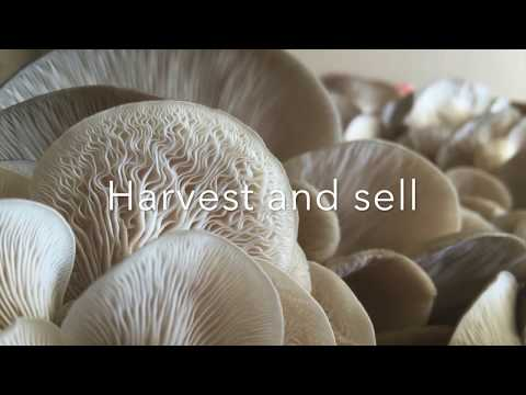 General Process of Growing Oyster Mushrooms