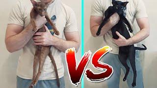 Oriental Cat Size Comparison