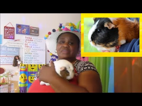 Adventures with my two guinea pigs part 9