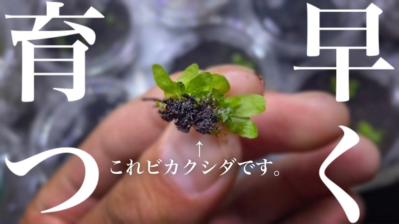 【胞子培養】ジフィー?肥料?用土比較1カ月後【ビカクシダ】