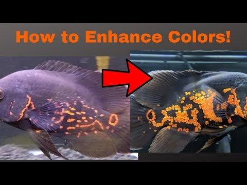 How To BOOST Oscar Fish COLORS