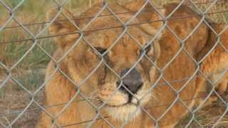 Watch: FOUR PAWS secured a better future for five mistreated lions