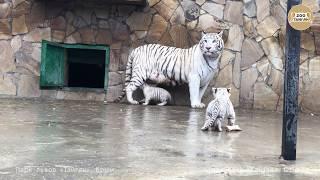 Шахерезада с малышами. Тайган. Крым. | White tigress Scheherazade and cubs