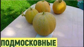 видео Выращивание дыни в теплице