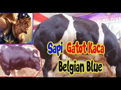 Sapi Gatot Kaca Belgian Blue Pejantan Umur 20 Bulan Berat Badan 583 Kg Sidoarjo 27 Oktober 2018 Youtube