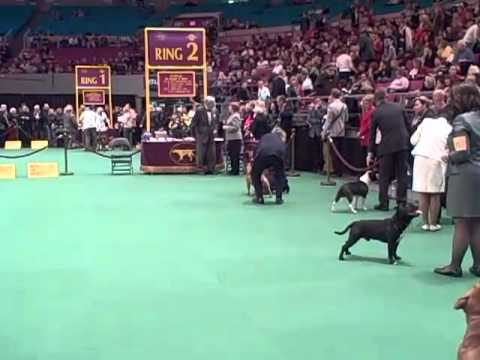 135th Westminster Dog Show Staffordshire Bull Terrier Judging Youtube
